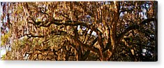Trees Covered With Spanish Moss, Boone Acrylic Print by Panoramic Images