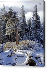 Trees Of Mcleod Acrylic Print by Chris Brannen