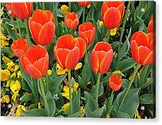 Trendy Tulips  Acrylic Print