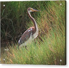 Acrylic Print featuring the photograph Tri-color Heron by Leticia Latocki