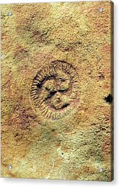 Tribrachidium Fossil Acrylic Print by Sinclair Stammers/science Photo Library