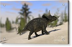Triceratops Roaming A Prehistoric Acrylic Print