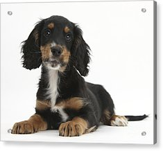 Tricolor Working Cocker Spaniel Puppy Acrylic Print