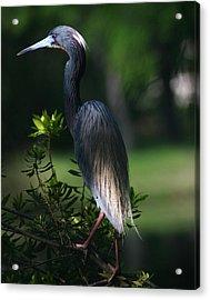 Tricolored Heron 16x20 Acrylic Print by David Lynch