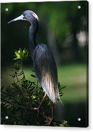Tricolored Heron 8x10 Acrylic Print by David Lynch