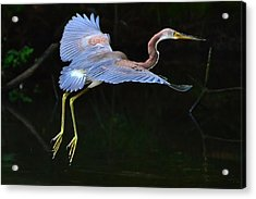 Tricolored Heron Acrylic Print by Charlotte Schafer