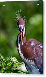 Tricolored Heron In Awe Acrylic Print by Andres Leon
