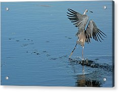 Tricolored Heron Landing On Water Acrylic Print by Bob Gibbons