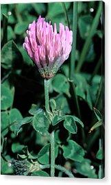 Trifolium Pratense Subsp. Semi Purpureum Acrylic Print by Bruno Petriglia/science Photo Library