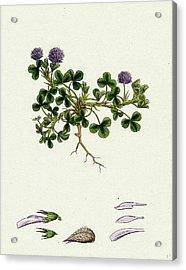 Trifolium Resupinatum Reversed-flowered Trefoil Acrylic Print by English School