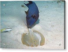 Triggerfish And Ray Acrylic Print