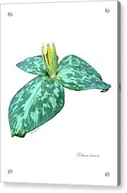 Trillium 3 Acrylic Print