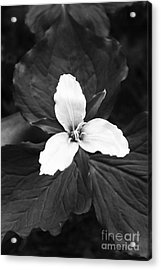 Trillium In Black And White Acrylic Print by Cari Gesch