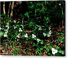 Trillium In Morning Sun Acrylic Print by Michelle Calkins