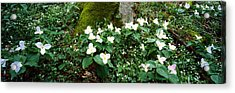 Trillium Wildflowers On Plants, Chimney Acrylic Print by Panoramic Images