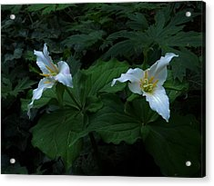 Trillium's Of The Wildwood Acrylic Print by Charles Lucas