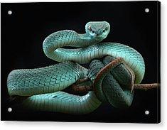 Trimeresurus Insularis [blue] Acrylic Print