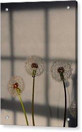Trio Of Dandelions Acrylic Print