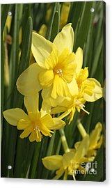 Tripartite Daffodil Acrylic Print by Judy Whitton