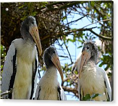 Triplet Wood Stork Nestlings Acrylic Print by Richard Bryce and Family