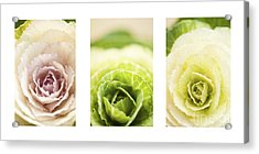 Triptych Of Ornamental Cabbages Acrylic Print by Anne Gilbert