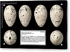 Tristram's Great Auk Egg Acrylic Print by Natural History Museum, London