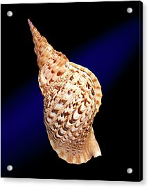 Triton's Trumpet Shell Acrylic Print by Natural History Museum, London