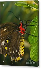Acrylic Print featuring the photograph Troides Helena Butterfly  by Olga Hamilton