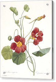 Tropaeolum Majus Garden Nasturtium Acrylic Print