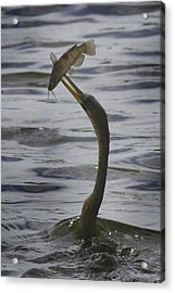 Acrylic Print featuring the photograph Trophy Fish by Joseph G Holland