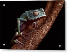 Tropical Amazon Rain Forest Tree Frog Acrylic Print by Dirk Ercken