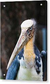 Tropical Bird Marabou Of Indonesia Acrylic Print by Fototrav Print