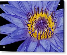 Tropical Day Flowering Waterlily Acrylic Print by Susan Candelario