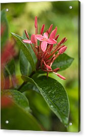 Tropical Flowers In Singapore Acrylic Print
