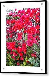 Tropical Flowers Of South Florida Acrylic Print by Dora Sofia Caputo Photographic Design and Fine Art