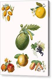 Tropical Fruit Acrylic Print by English School