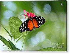 Tropical Hecale Butterfly Acrylic Print by Karen Adams
