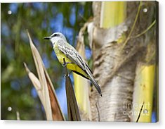 Acrylic Print featuring the photograph Tropical Kingbird by Teresa Zieba