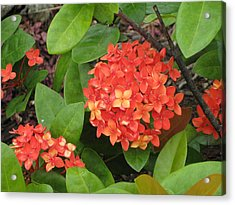 Acrylic Print featuring the photograph Tropical Orange Flower by Judy Palkimas