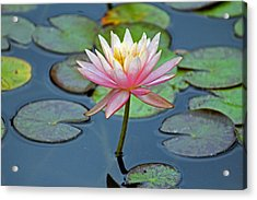 Tropical Pink Lily Acrylic Print