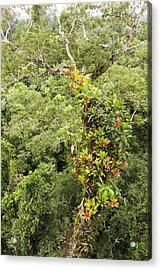 Tropical Rainforest Epiphytes Acrylic Print