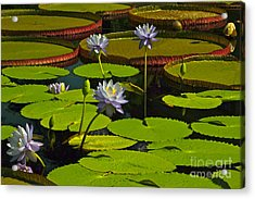 Tropical Water Lily Flowers And Pads Acrylic Print by Byron Varvarigos