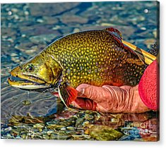 Trout Acrylic Print by Edward Fielding