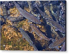 Trout Prints Rainbow Lake River Trout Acrylic Print by Baslee Troutman