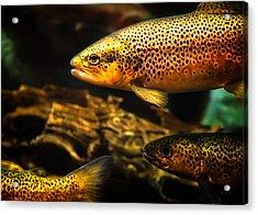 Trout Swiming In A River Acrylic Print by Bob Orsillo