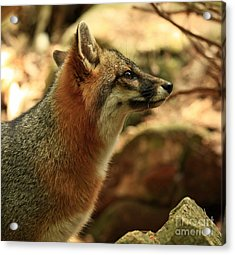 Truly Captivated By The Rare Grey Fox Acrylic Print by Inspired Nature Photography Fine Art Photography