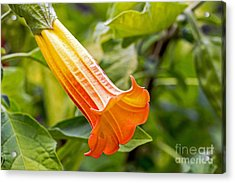 Acrylic Print featuring the photograph Trumpet Flower by Kate Brown