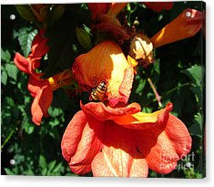 Trumpet Flower Orange And Visiting Bee Acrylic Print