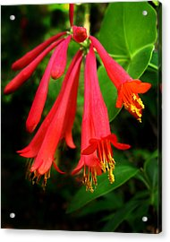 Acrylic Print featuring the photograph Wild Trumpet Honeysuckle by William Tanneberger