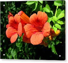 Acrylic Print featuring the photograph Wild Trumpet Vine by William Tanneberger